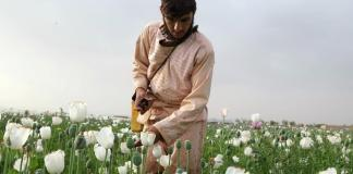 Afghan farmers stick to growing opium in the face of less lucrative options