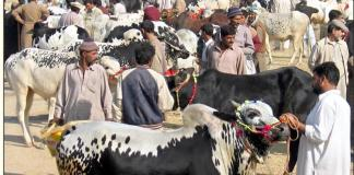 Buyers in cattle markets busy to bargain for Sacrificial animals