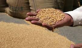Govt decides to export 0.5 million tons of surplus wheat