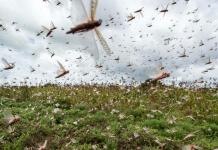 Locusts continue to destroy crops in parts of Pakistan