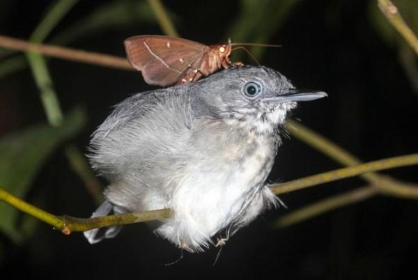 В Бразилии впервые мотыльки пьют слёзы спящих птиц ...