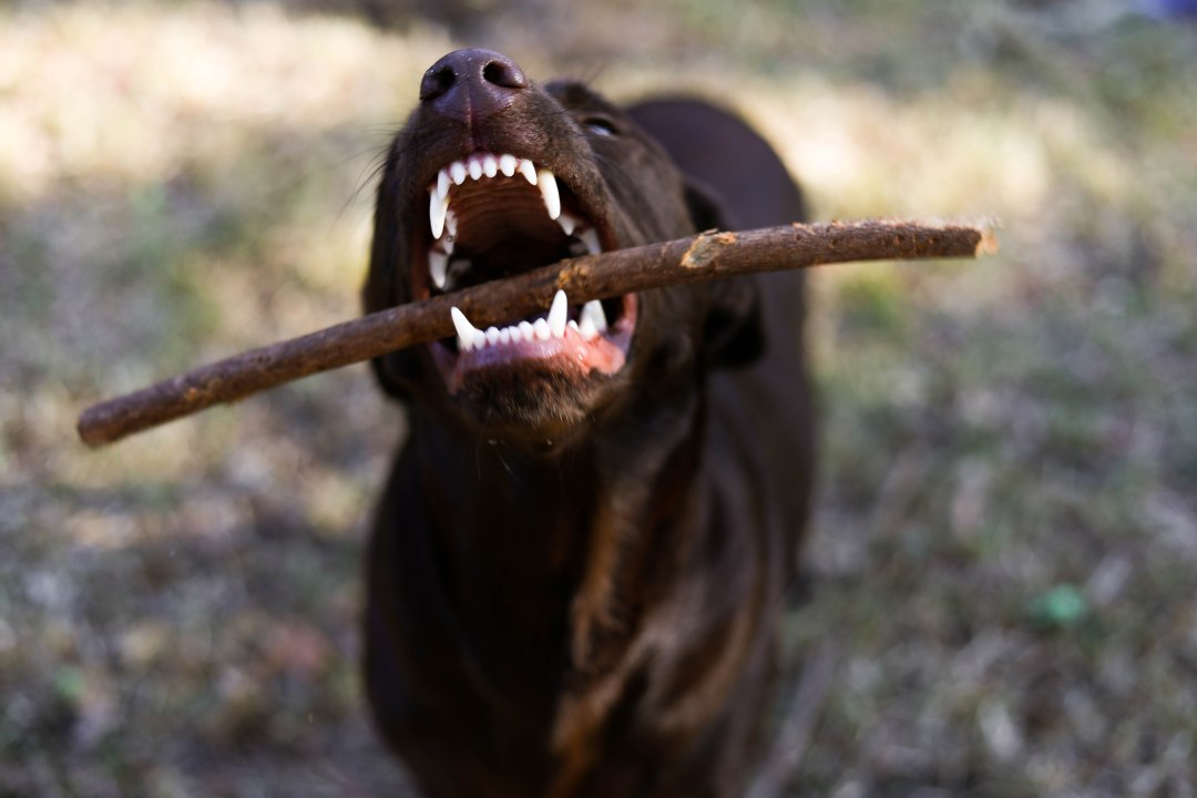 chocolate lab biting a stick