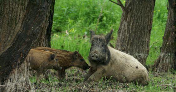 Danube Delta wildlife watching wild boar