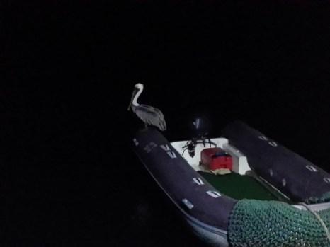 Pelican, night fishing