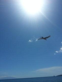 A low flying pelican