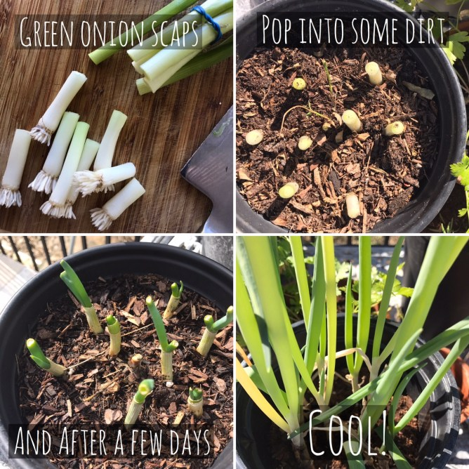 Green onion scraps