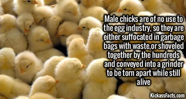 1335 Male chicks