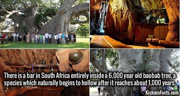 1702 Baobab tree bar