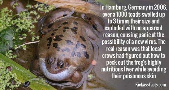 622Swollen Toads