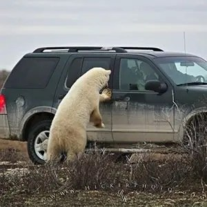 Polar Bear-Interesting Facts About Canada