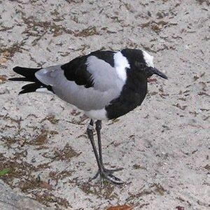 shorebird-Random Facts List