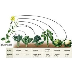 Cabbage, kale, cauliflower, brussel sprouts, broccoli, Chinese cabbage and savoy-Random Facts List