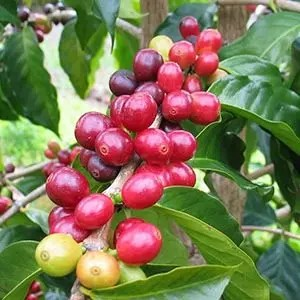Coffee cherry-Random Fact List
