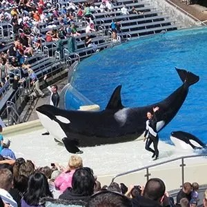 Killer Whale Captivity- Interesting Facts About Whales