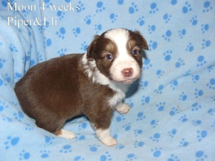 Cloud at 4 weeks old. Out of Piper and Eli Sold