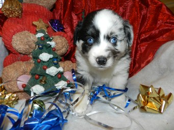Comanche Male Available