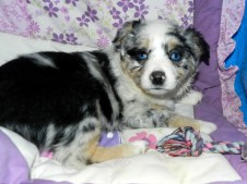 Navajo SOLD Blue Merle Female