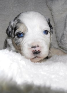 Pischio Blue Merle Male