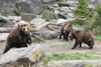 Brown bears- Bronx