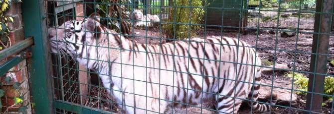 White tiger at Paradise wildlife Park