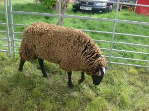 Sheep at Morden Hall Park Country Show