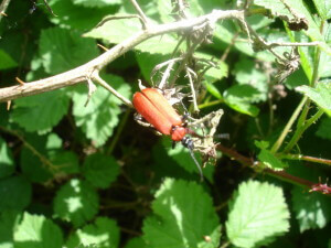 Bug in brambles at Chartwell
