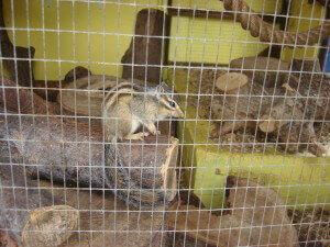 Chipmunk at Battersea Park Children's Zoo