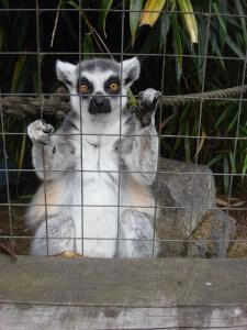 Lemur at Battersea Park Children's Zoo