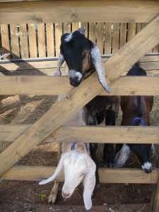 Goats at Gorodskaya Ferma VDNH