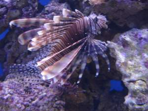 Lion fish at the Moskvarium Moscow