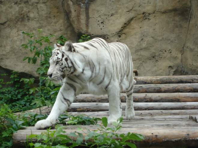 White tiger at Moscow Zoo