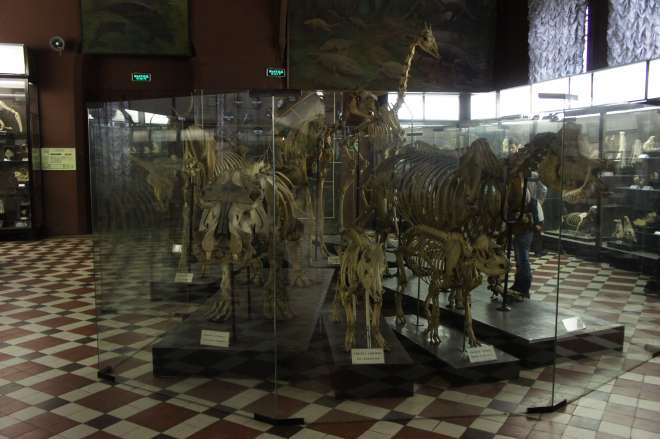 Skeletons at the Moscow Zoological Museum