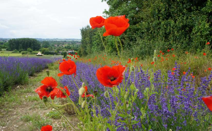 Lavender and Poppies at Hitchin Lavender Farm Hertfordshire