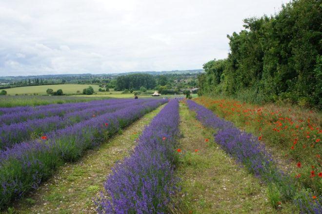 Lavender rows at Hitchin Lavender Farm Hertfordshire