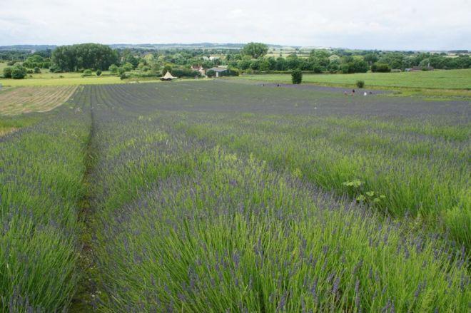 The smelly lavender Hitchin Lavender Farm Hertfordshire