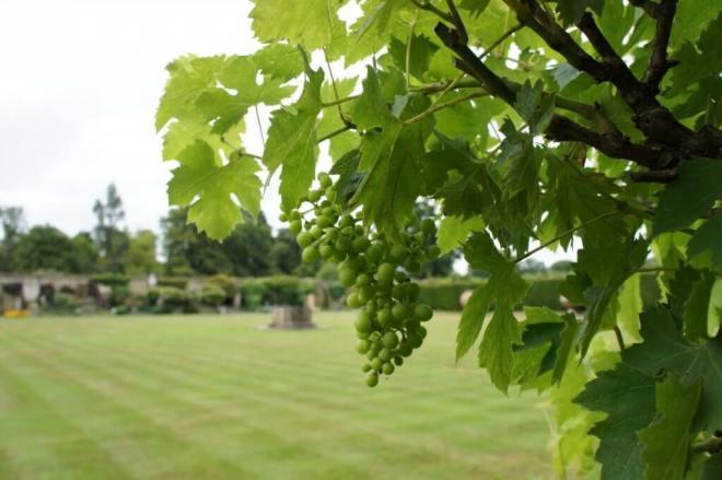 Hever Castle Grapes Kent
