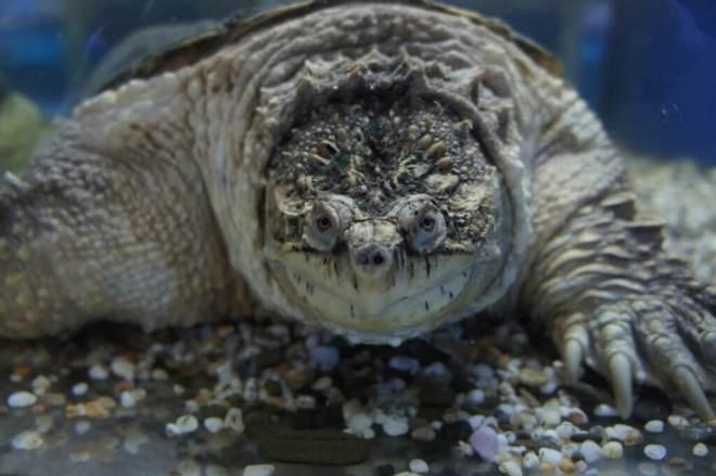 Snapping Alligator Turtle Moscow Sea Aquarium Chistye Prudy