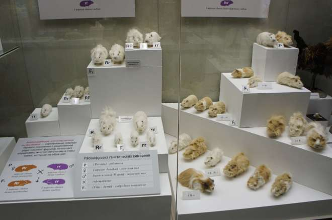 Guinea Pigs and Evolution Darwin Museum Moscow