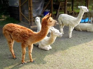 本名「羊駝」的「草泥馬」,外表可愛、個性溫馴,還可以在大草地上與人近身接觸耶~