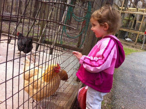 Checking out chickens at Watkins' Old Maryland Farm