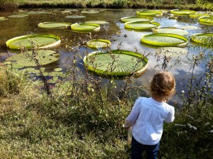 Giant lily pads at the Gardens