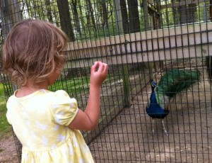 Visiting peacocks at Old Maryland Farm