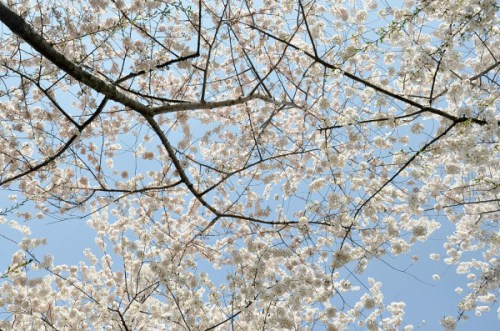 blossom_canopy