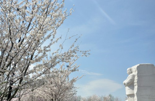 blossoms_mlk