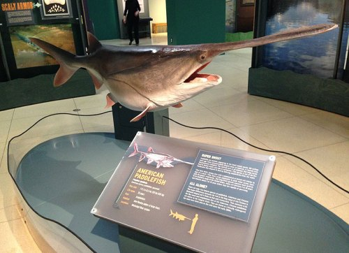 monsterfish_paddlefish