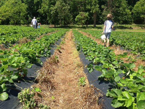 Strawberry picking is a seasonal fave