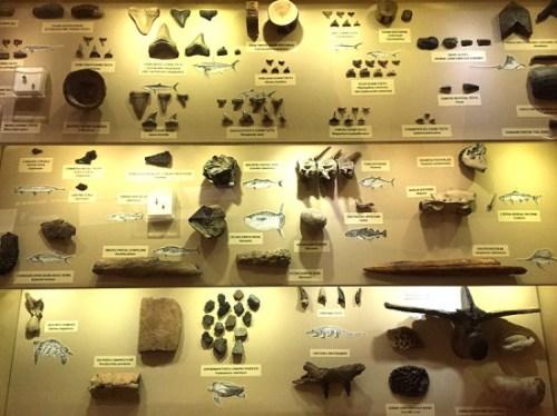 calvert_fossil_display