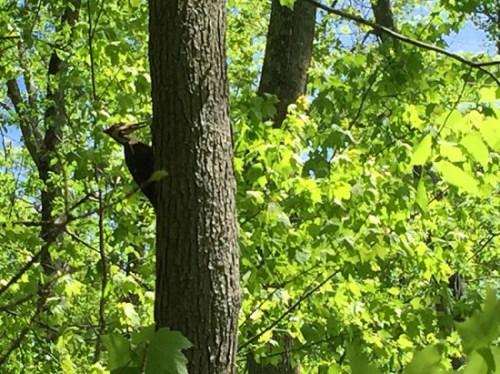 qwp_woodpecker