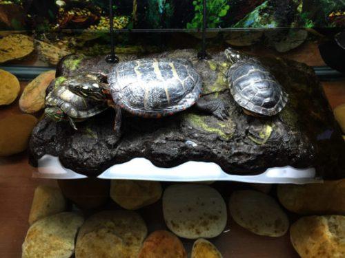buddie_turtles2