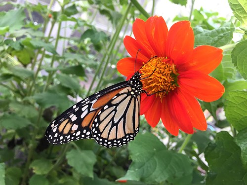 Butterflies return to Brookside Gardens this week